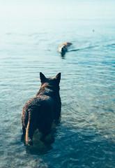DSC00607 (majoradair) Tags: dog dogs port melbourne beach summer eevee chewie