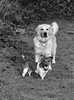 Two dogs looking unimpressed (KelJB) Tags: stare funnyface portrait blackandwhite blackwhite dogs pets animals canine terrier retriever jackrussell goldenretriever whitegoldenretriever funny cute
