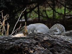 Squirrel (deannewildsmith) Tags: squirrel wolseleycentre earthnaturelife