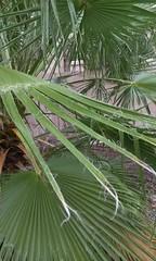 (wmpe2000) Tags: 2016 cell video wind weather cutofflow windchimes palm tree snapchat8335299429180220700 trees mexicanfanpalm washingtoniarobusta arecaceae palmtreefamily orderarecales