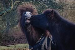 Horse kiss ... :-) (frankmh) Tags: horse animal icelandichorse kullagnnarstorp helsingborg skåne sweden outdoor
