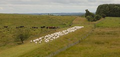 Northumberland (national park) (Adam Swaine) Tags: sheep northumberland nationalparks animals farming england englishlandscapes canon rural britain 2016 uk ukcounties counties countryside fields cattle
