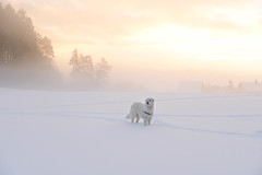 Mogli (balu51) Tags: winter wintermorgen sonnenaufgang himmel wolken nebel schnee pastel gelb apricot weiss kalt landschaft waldrand hund kuvasz ungarischerhirtenhund landscape winterlandscape wintermorning cold sunrise sky clouds fog snow white yellow orange dog januar 2017 copyrightbybalu51