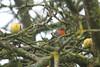 Rouge gorge familier (Mariie76) Tags: animaux oiseaux passereaux arbre hiver pommes pommier branches rougegorge familier erithacus rubecula orange mignon petit