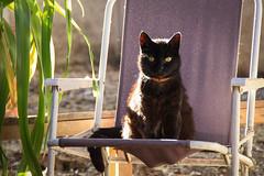 Mulata (chamorojas) Tags: cat catlover blackcat gato negro gatonegro silla