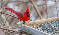Mr. Cardinal Comes To Lunch (John Kocijanski) Tags: cardinal red feeder bird animal wildlife nature canon70300mmllens