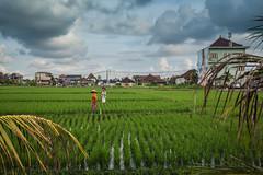 Rice Fields Canggu Bali (pictcorrect) Tags: bali island rice field canggu