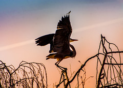 Perfect landing (hardy-gjK) Tags: birds heron vögel reiher ibis hardy nikon nature wildlife