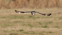 Short-eared Owl (image 1 of 3) (Full Moon Images) Tags: wildlife nature bird flight flying east anglia fens cambridgeshire prey birdofprey shorteared short eared owl seo