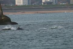 IMG_5690 (monika.carrie) Tags: monikacarrie wildlife scotland aberdeen dolphins dolphin cetacean mammal