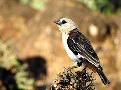 White-Headed Buffalo Weaver (Dinemellia dinemelli) (mat.breiten) Tags: whiteheaded buffalo weaver dinemellia dinemelli bird baringo kenya oiseau