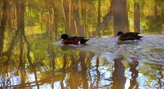 Into the UNKNOWN.... (Lani Elliott) Tags: waterfowl duck ducks chestnut chestnutteals teals nature naturephotography bird birds water duckpond reflection reflections australia tasmania