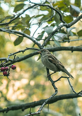 """""""Color of Autumn 2016 In NYC"""" - Sparror Perched On Branchlet Taking Aim On Some Berries For Food (nrhodesphotos(the_eye_of_the_moment)) Tags: dsc0387072 """"theeyeofthemoment21gmailcom"""" """"wwwflickrcomphotostheeyeofthemoment"""" colorsofautumn2016innyc autumn season centralpark manhattan nyc plantlife animallife bird perched branchlets bokeh foliage grass trees rocks shadows landscape perspective outdoor animal botanicals sparrow nature"""