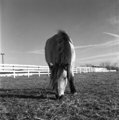 Pony at Kentucky Horse Park (matthew.vortex) Tags: sunnyf16 manual tlr vintage monochrome blackandwhite hp5 ilford yellowfilter tessar7535 k4b2 automat rolleiflex kentucky georgetown kentuckyhorsepark pony horse