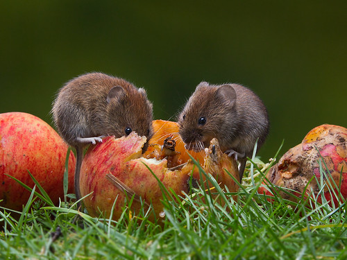 Field Voles on apples. (roy rimmer) Tags: