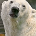 Portrait of a polar bear