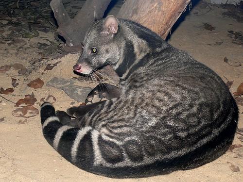 Viverra megaspila - Großfleck-Zibetkatze - Large-spotted civet