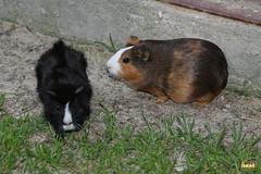 11. Guinea pigs / морские свинки