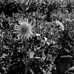 Crop (lesphotosdedaniel) Tags: leica bw zeiss fleurs nb m8 biogon fluxdephotos