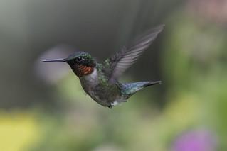 Ruby-throated Hummingbird Male