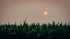 Orange sun setting over the cornfields (jr19) Tags: sunset sun field corn nikon farm d750 sigma70200mmf28 vsco