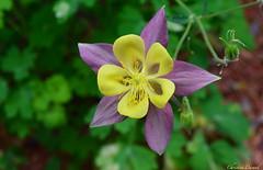 Colombine Ancolie (christinedurand) Tags: summer flower nature yellow fauna jaune garden flora quebec jardin fiori été flore potofgold macroflowerlovers nikonflickraward