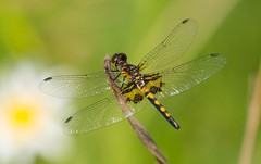 7K8A2268 (rpealit) Tags: nature water female marthas scenery dragonfly wildlife gap national area recreation delaware pennant