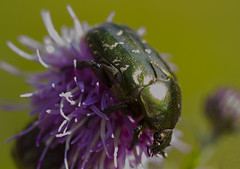Flower chafer (Anders Toomus) Tags: guldbagge flowerchafer kuldprnikas