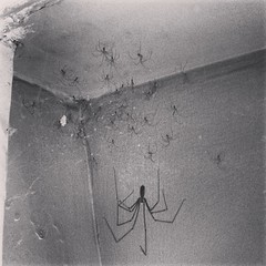 iPhonography (LsBrns_Photo) Tags: daddy long legs spiders creepy iphone
