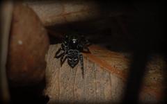 Saitis virgatus (dustaway) Tags: arthropoda arachnida araneomorphae araneae salticidae euophryinae saitisaffvirgatus jumpingspiders australianspiders leaflitter darlingtonrange canungra sequeensland queensland australia spinne