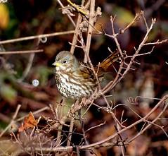 Fox Sparrow--Passerella iliaca iliaca (Polioptila caerulea) Tags: sparrow foxsparrow redfoxsparrow passerellailiaca passerellailiacailiaca passerella spencevillewla yubacounty california