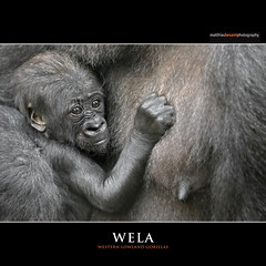 WELA (Matthias Besant) Tags: affe affen affenblick affenfell animal animals ape apes fell hominidae hominoidea mammal mammals menschenaffen menschenartig menschenartige monkey monkeys primat primaten saeugetier saeugetiere tier tiere trockennasenaffe primates querformat gorilla baby zoo zoofrankfurt shira mother mutter matthiasbesant hessen deutschland wela