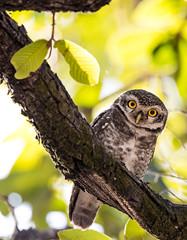 Spotted Owlet (rhysmarsh) Tags: athenebrama bandhavgarhnationalpark bird india spottedowlet eyesopen perched tala madhyapradesh in
