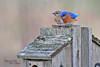 "Eastern Bluebird Mating Pair (4 of 4) in Spring at Duke Farms of Hillsborough NJ (takegoro) Tags: mates pair couple dukefarms naturepreserve ""hillsborough nj"" nature sanctuary spring wildlife bird ""eastern bluebird"" blue orange"