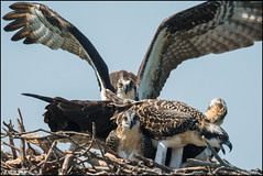 July Osprey [1] (Nikographer [Jon]) Tags: osprey bird birds nest maryland md easternshore stmichaels summer jul july 2016 nikographer nestlings 3chicks nikon d500 600mmf4 20160714d500012041 imagesforblog1