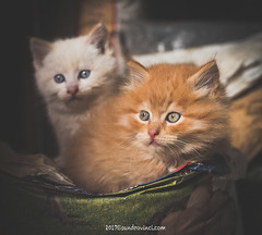 Peluches (Sandro Vinci) Tags: nikon d750 sandrovinci photographer ph photoshop lightroom fx dx lens photo amazing cool scene google flickr maps mappa ricerca sandro vinci animal animali cat gatti peluche peluches colori colors eyes occhi red white rosso