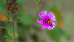 Flowers and bees (Street Parrot) Tags: flowers spring color flower tree closeup natural plant green insect pink garden purple bee flora pentax k10d