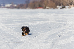 3/52 ~ Run Like The Wind :: EXPLORED ({Andrea}) Tags: week32017 52weeksthe2017edition weekstartingsundayjanuary152017 week3theme motion maggie running snow frozen lake canoneos6d