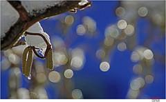Oh, we're a bit early (Lutz Koch) Tags: bokeh strauch eis ice shrub korkenzieherhasel corylusavellana contorta haselnuss hazelnut elkaypics lutzkoch winter droplet frozen tropfen gefroren