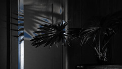 ombres chinoises - Chinese shadow (serial n° N6MAA10816) Tags: ombre shadow bleu blue plante noir desaturation