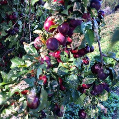 Wild plums. Copper Alley Bay.