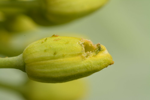 Pollen beetle damages