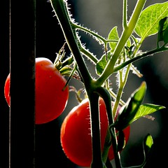 Tomates Cerises, France (pom.angers) Tags: canoneos400ddigital 2009 august food tomato cherrytomatoes saintsébastiendaigrefeuille gard 30 occitanie france europeanunion vegetable 100 150 stage 200 5000