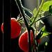 Tomates Cerises, France