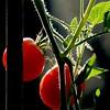 Tomates Cerises, France (pom.angers) Tags: canoneos400ddigital 2009 august food tomato cherrytomatoes saintsébastiendaigrefeuille gard 30 occitanie france europeanunion vegetable 100 150