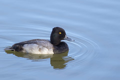 Lesser Scaup (Aythya affinis) ♂ (Gmo_CR) Tags: aythyaaffinis lesserscaup porrónmenor pato costarica la sabana macho male