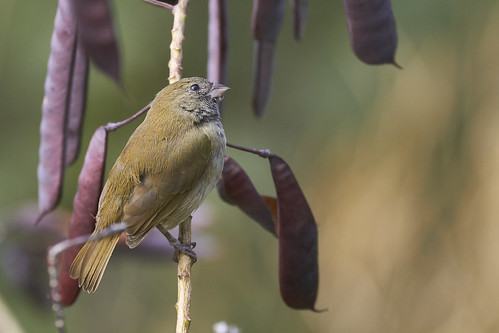 Black-faced Grassquit (female)