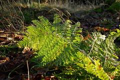 Backlight (In Explore) (Steenjep) Tags: skov skovbund forest svamp bregne fern green light backlight