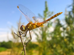Dragonfly (Blagovest Penev) Tags: mobile dragonfly portrait nature landscape insects insect beauty beatle life live