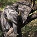 Elephant / Afrikanischer Elefant (Loxodonta africana) - Lake Manyara, Tansania